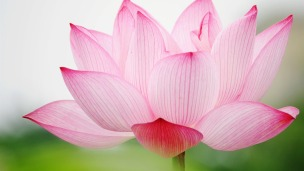 lotus-flower-images-and-wallpapers-26 B